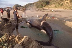 thelma-wilson-stranded-orca