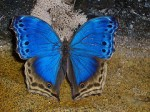 African Salamis butterfly