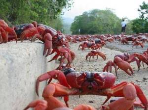 Christmas Island red crabs crossing the road.